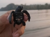 Baby Sea turtle about to be released into the ocean, Kalipur, North Andaman