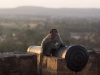 Badami is yet another Indian city infested with monkeys.  Here a monkey mans a cannon on the ramparts of the northern fort.