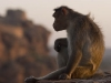 More monkeys, Badami.