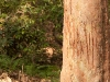 Tiger scratches on a tree marking territory Bandhavgarh National Park