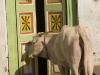 Cows, Bijapur.