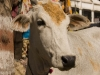 Pictures from India no cow yet? Here is one for the bovine fans, on the streets of Bundi