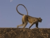 Monkey on the fort wall in Bundi.