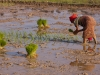 Planting rice near Damchara