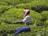 Picking tea, Wayanad district, Kerala.