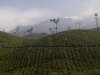 Tea plantations, Wayanad district, Kerala.