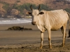 Cow on Kudle beach, Gokarna.