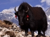 Everest and yak hiking to Phortse