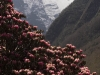 Rhododendrons blooming along the trail from Namche to Chukhung, near Tengboche.