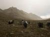 Yaks, Mt. Kailash kora.