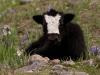 Baby yak, Langtang Valley, near Kanjin gompa