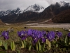 Irises, Langtang Valley, near Kanjin gompa
