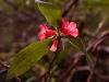Flower, Langtang Trek