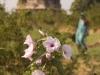 Flowers near Darya Khan's tomb, Mandu.