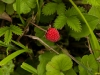 Wild strawberry, Mechuka