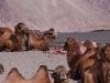 Camels, Hunder, Nubra Valley