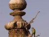 Parakeet perched on a branch growing out of one of the cenotaphs, Orchha.