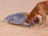 Dog nibbles on a sea turtle caught by fishermen at the beach in Puri