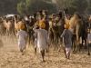 Driving the camels, Pushkar.