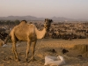 Camels at the trading grounds, Pushkar.
