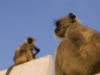 Monkeys on the roof, Pushkar.