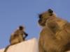 Monkeys on the roof, Pushkar.