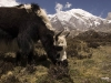 Yak grazing above Tengpo, on the trail to the Tashi Labtsa pass from Thame.
