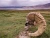 Blue Sheep skull, Tso Kar