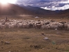 Nomadic herder bring in the flock of goats and sheep for the night