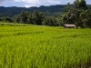 Rice paddies, Shiyong