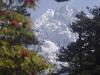 Rhododendron forest between Tsokha and Dzongri, on the trek to Goecha La.