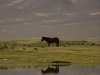 Horse on the grasslands, the road to Kailash.