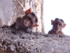 Monkeys looking down on me at the spring source of the Godavari River.