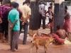 Goat sacrifices at Tripura Sundari Mandir, Matabari