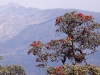 Rhododendron, Siroi Hill, Ukhrul