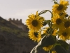 Sunflower and the fort at Jiayuguan