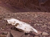 Animal skull on the way down from the Stok La towards Stok