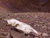 Animal skull on the way down from the Stok La towards Stok