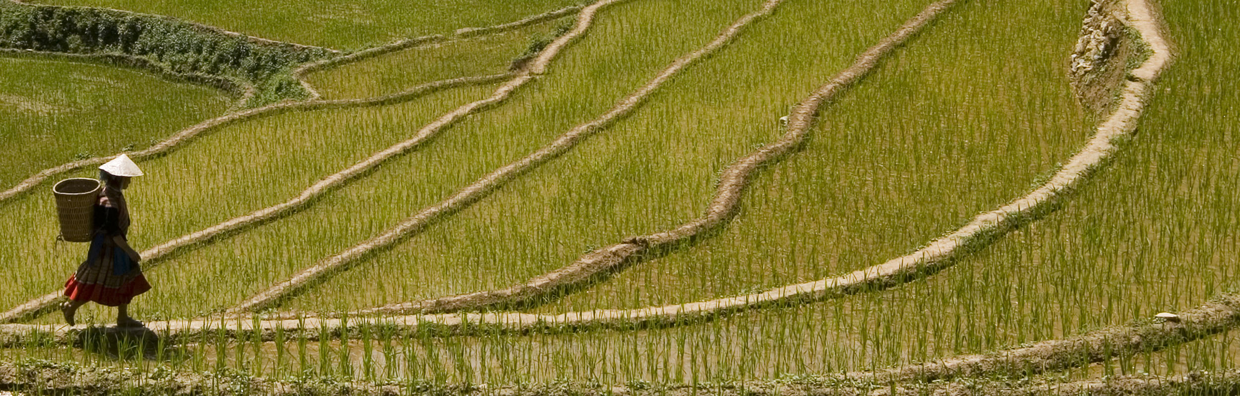 Rice paddies in Vietnam
