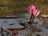 Lotus Flower, Bagerhat