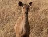 Sambar deer, Bandhavgarh National Park