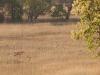 1st Tiger I saw, Bandhavgarh National Park