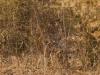 3rd Tiger I saw, Bandhavgarh National Park