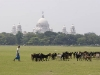 Goats grazing on the Maidan in front of the Victoria Memorial, Calcutta.