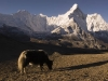 Yak grazing with a view of Ama Dablam while climbing Chukhung Ri, above Chukhung.