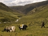 Yaks on there way back down the valley.