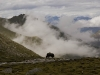 Yak grazing as it makes its way up the first 5250 m (17,325 ft) pass.