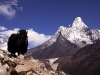 Ama Dablam and yak hiking to Phortse