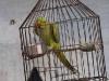 Caged bird, Khajuraho.