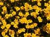 Flowers, Korzok